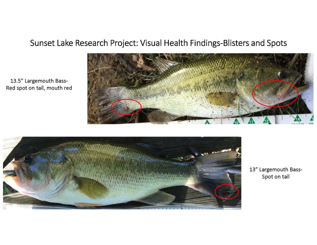 fish-of-sunset-lake-research-project_page_06