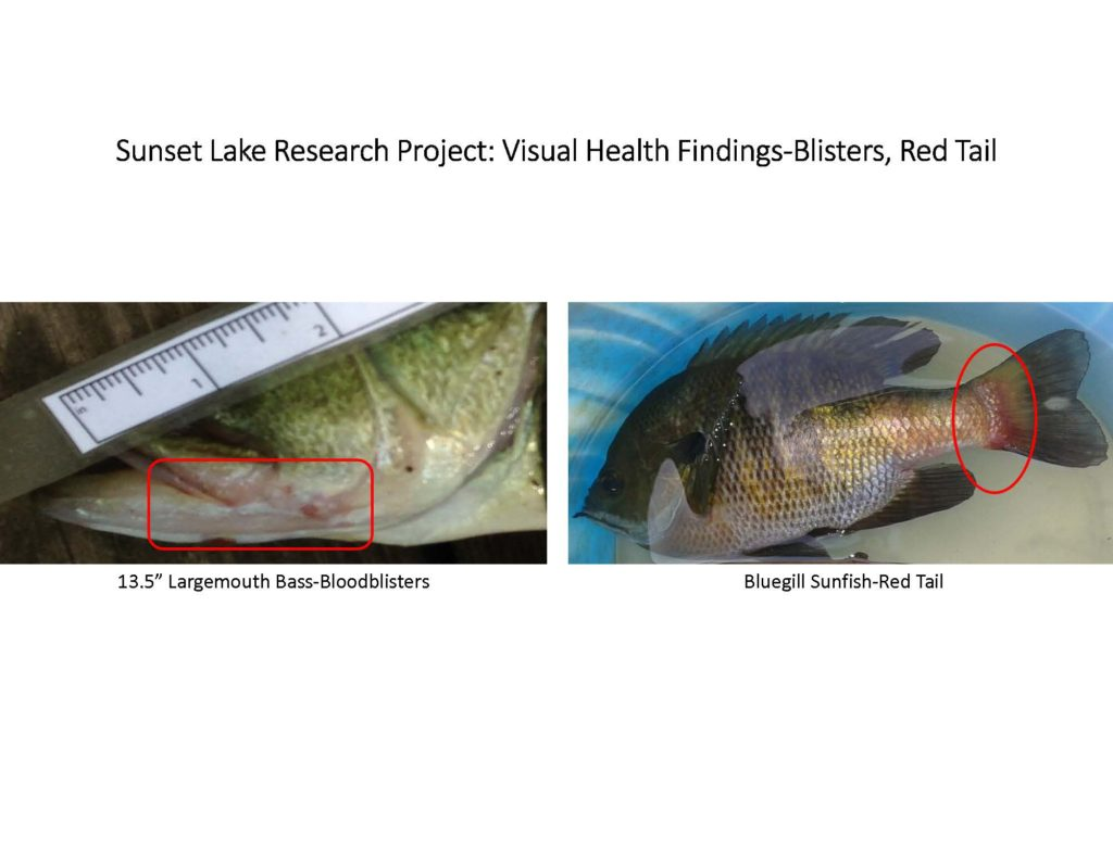 fish-of-sunset-lake-research-project_page_07