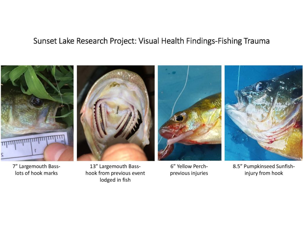 fish-of-sunset-lake-research-project_page_08