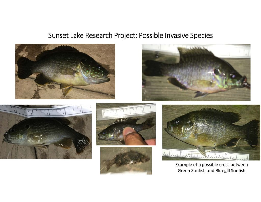 fish-of-sunset-lake-research-project_page_10