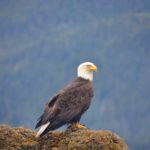 Bald Eagle in Sitka Bay