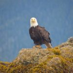 Bald Eagle in Sitka Bay, Here's Looking at You Kid!