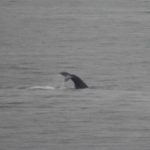 Whale Tail in Sitka Bay