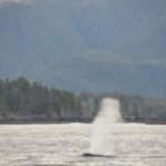 Whale Spout in Sitka Bay