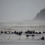 "Sea Otters in Sitka Bay, ""The Boy's Club"""